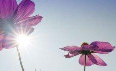 h_pink-blueten-sonne